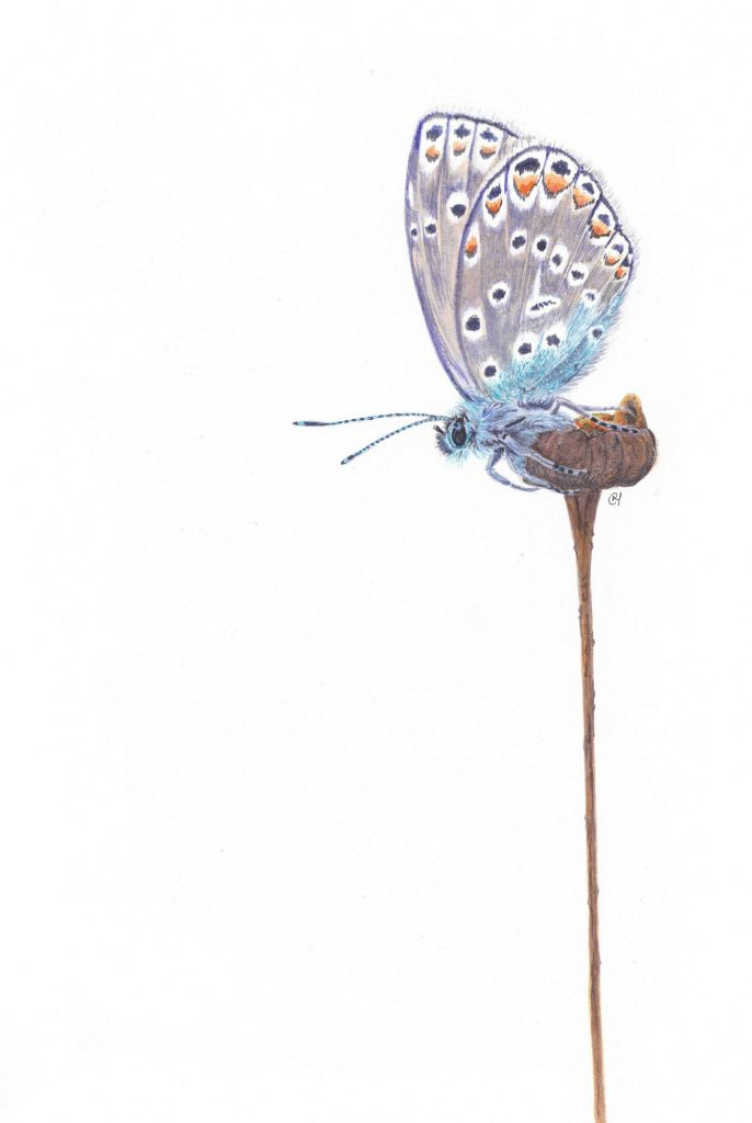 Blue Butterfly for dragonfly - Chris Haywood