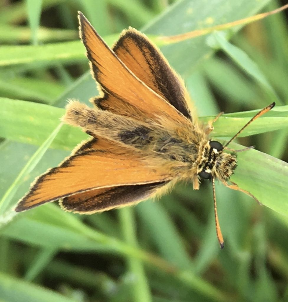Essex Skipper - Anne Hickley