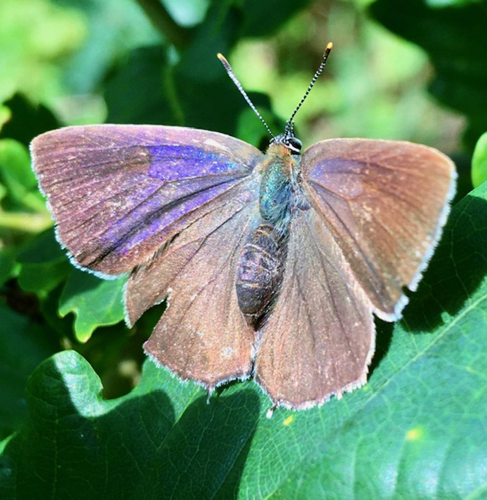Purple Hairstreak - Anne Hickley