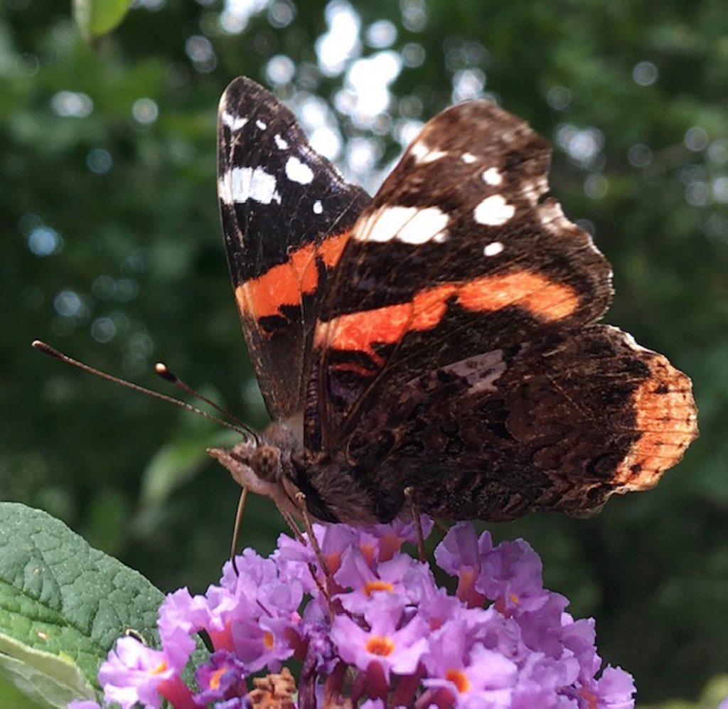 Red Admiral - Anne Hickley