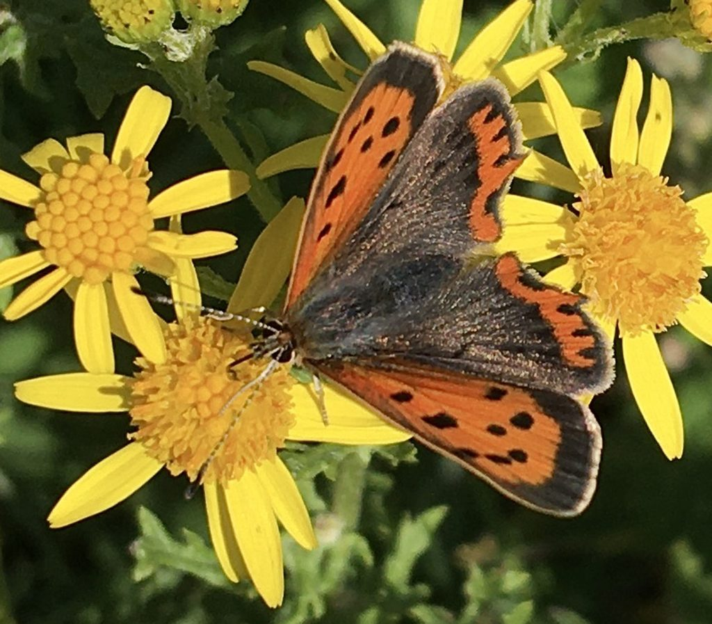 Small Copper - Anne Hickley