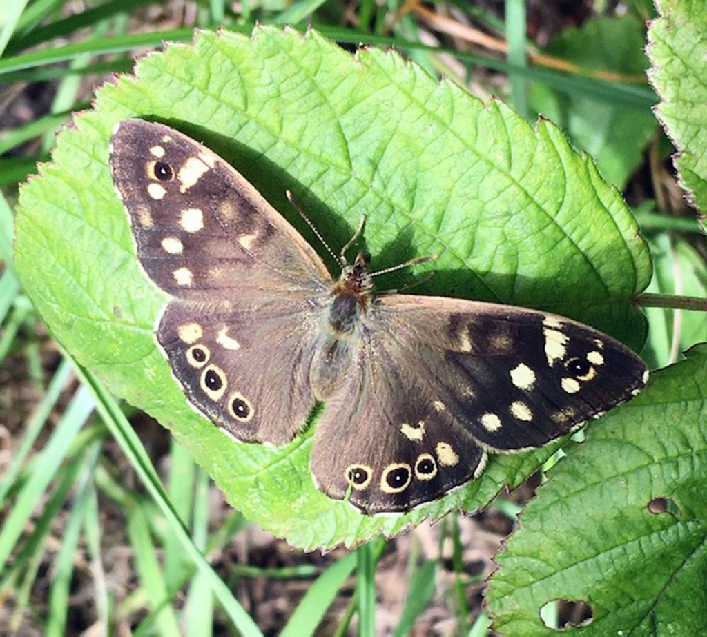 Speckled Wood -  - Anne Hickley