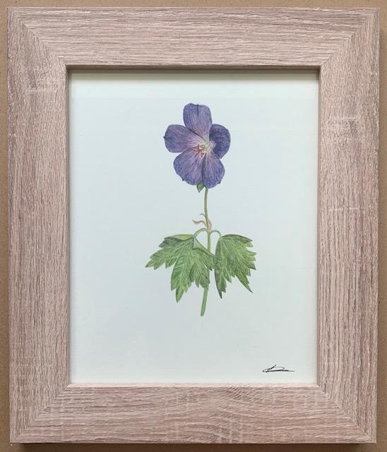 Laura Carey - Geranium- Watercolour on card - 20 x 25.5- £52