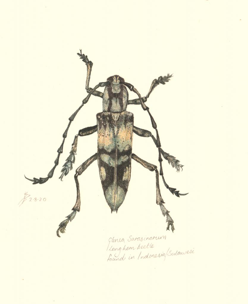 Sue Burns - Glenea Sarasinorum - Watercolour - 28.5 x 21 cm- £180