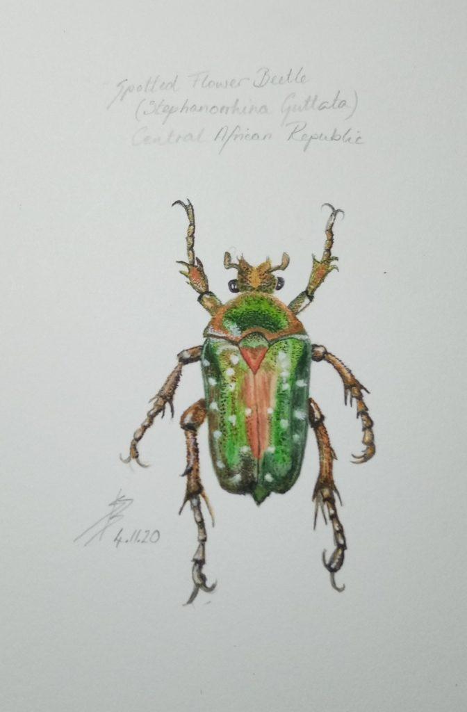 Sue Burns - Flower Beetle- Watercolour - 15 x 21.5 cm- £180