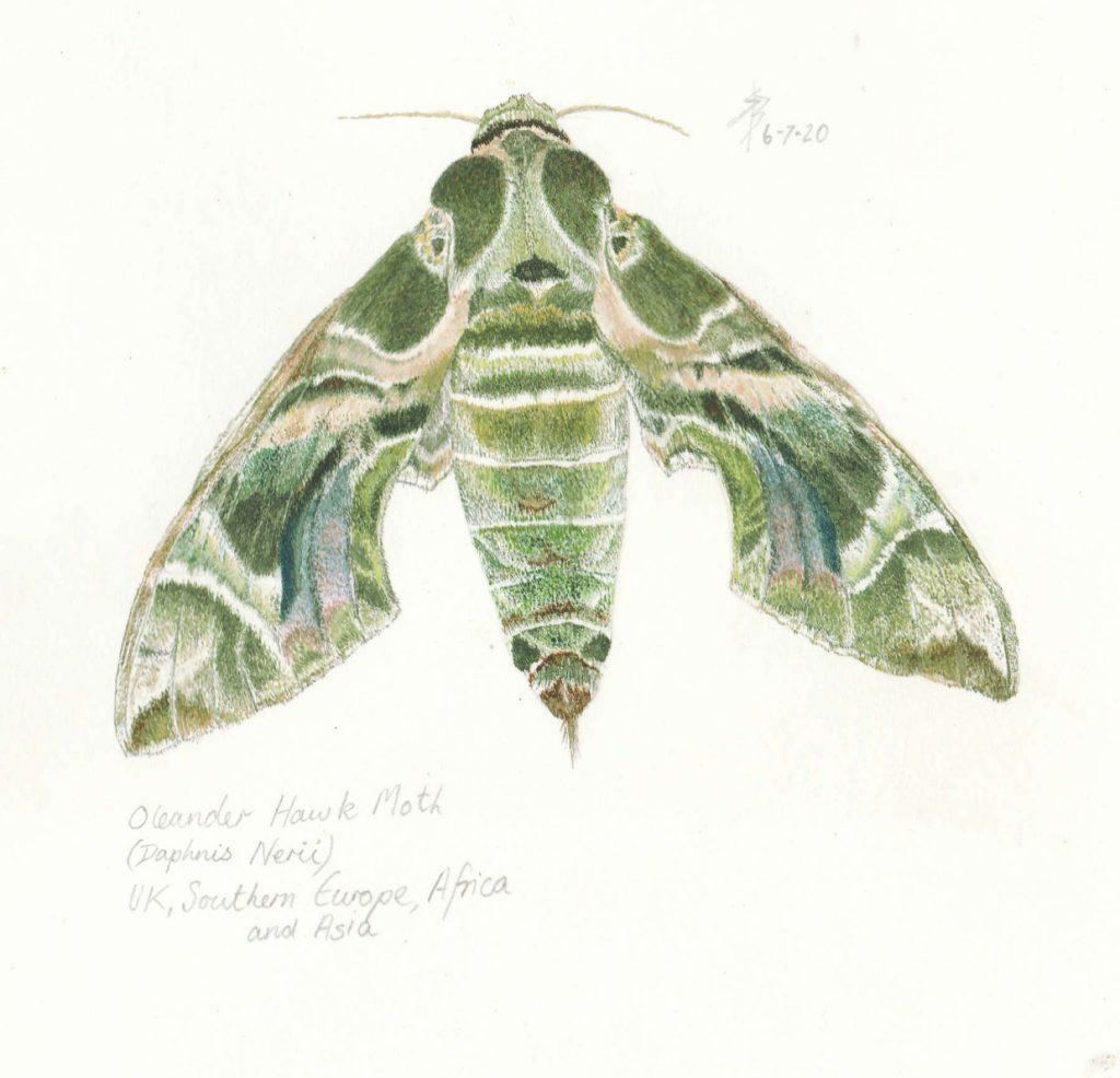 Sue Burns - Oleander Hawk Moth - Watercolour - 30 x 23 cm - £198