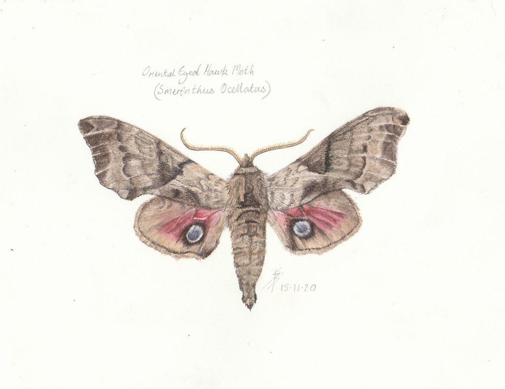 Sue Burns - Oriental Eyed Hawk Moth - Watercolour - 21.5 x 15.5 cm - £198