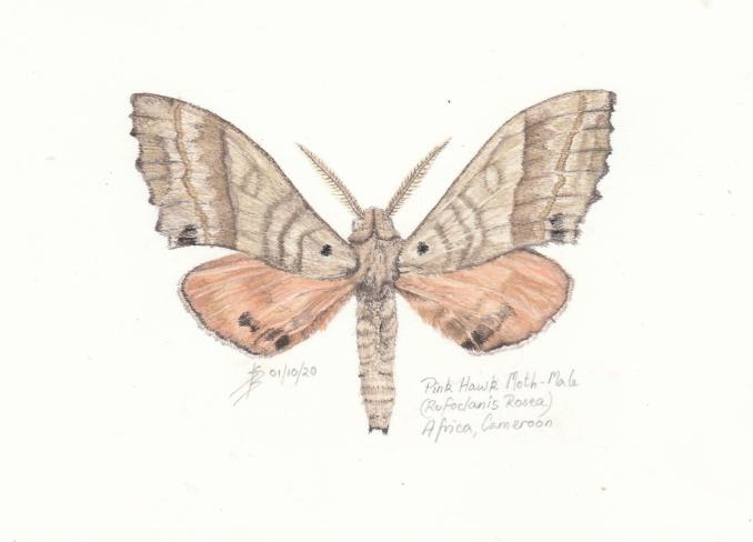 Sue Burns - Pink Hawk Moth- Watercolour - 21 x 14 cm - £198