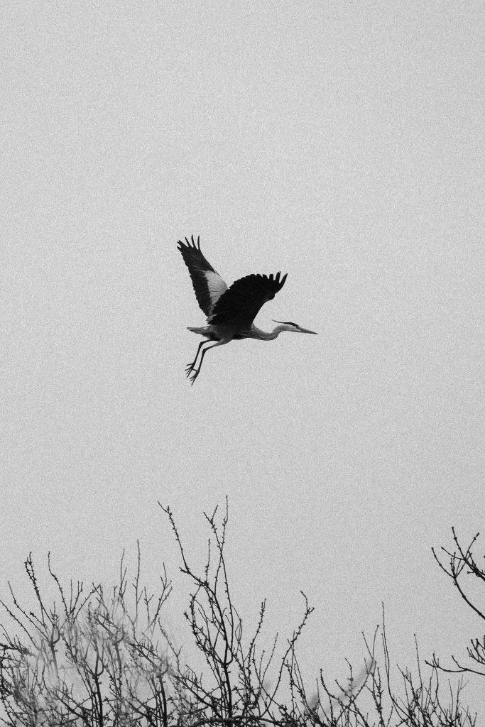 Lorna Faulkes - A Heron Soars - Photo print - a4 / a3 - £18.50 / £37.50