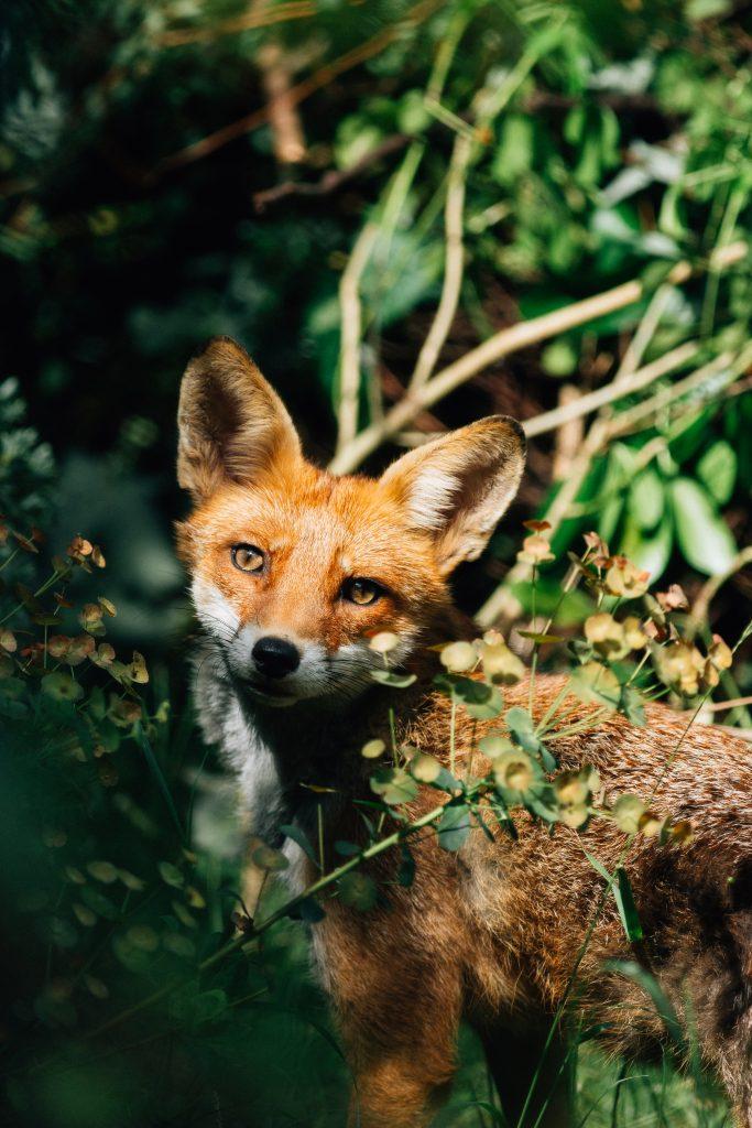 Lorna Faulkes - Think Outside the Fox - Photo print - a4 / a3 - £18.50 / £37.50