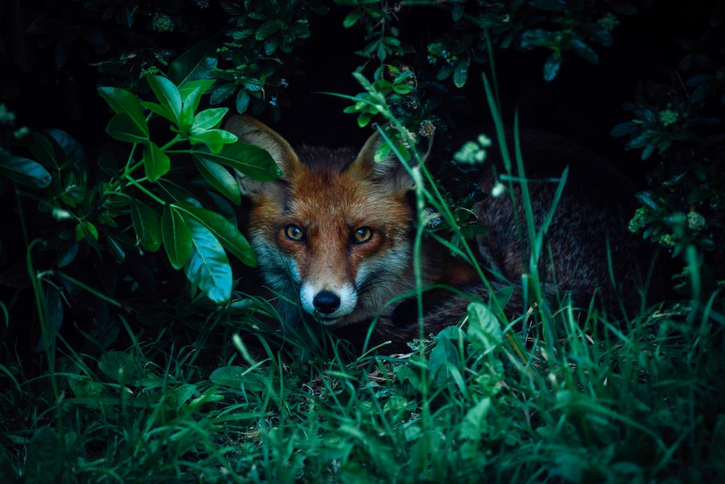 Lorna Faulkes - Who Let the Fox Out - Photo print - a4 / a3 - £18.50 / £37.50