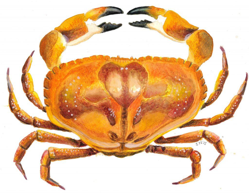 Sarah Jane Shepherd - Crab- Watercolour- 29.7 x 21 cm - £30 (signed, limited edition print)