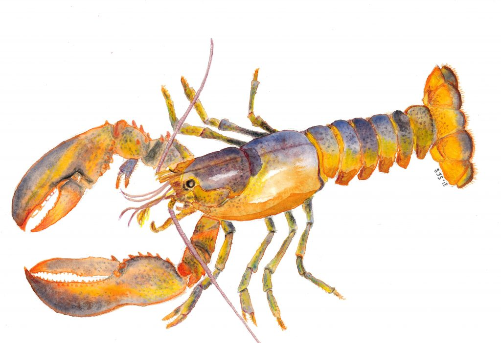 Sarah Jane Shepherd - Lobster - Watercolour- 29.7 x 21 cm - £30 (signed, limited edition print)