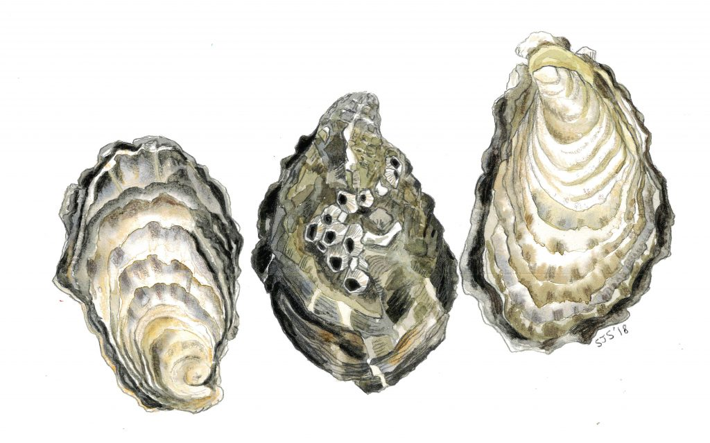 Sarah Jane Shepherd - Oysters - Watercolour- 29.7 x 21 cm - £30 (signed, limited edition print)